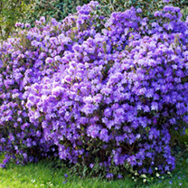 Azalea japonica Plant - Diamond Purple
