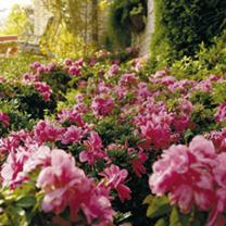 Azalea Encore Plant - Autumn Sangria