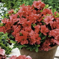 Azalea Encore Plants - Collection
