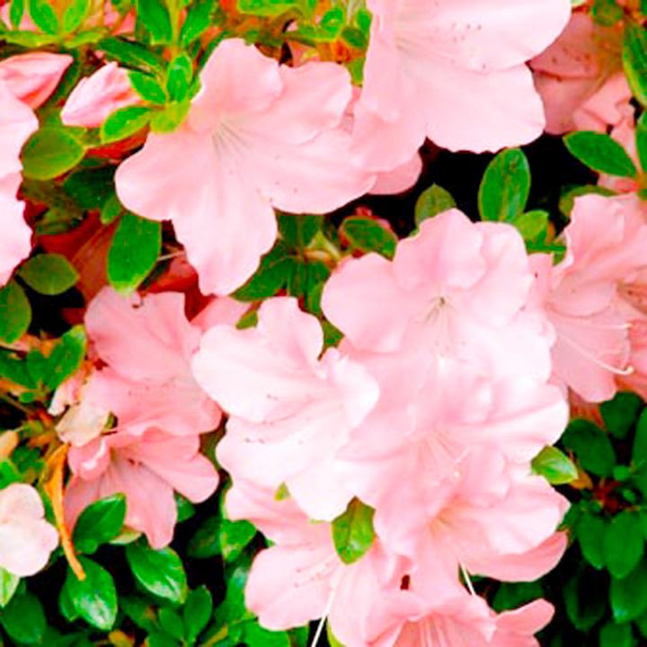 Azalea Encore Plant - Debutante