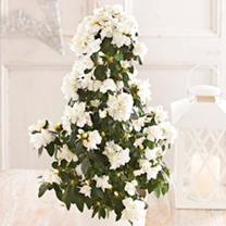 Azalea Tree White