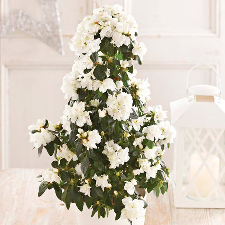 Azalea Christams Tree - White