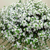 Bacopa Plants - White
