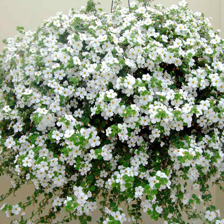 Bacopa Plants - Atlas White