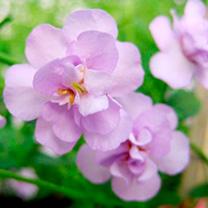 Bacopa Plants - Secrets XXL Double Lavender