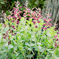 Baptisia Plant - Decadence Dutch Chocolate