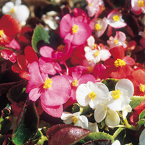 Begonia Seeds - Tomfoolery Mix