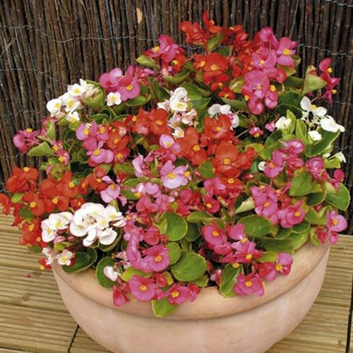 Begonia Plants - Ambassador Mixed