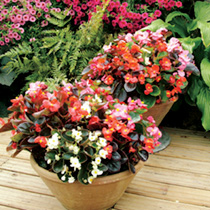 A good range of flower colours, some plants having fresh green leaves and others boasting deep bronze leaves. Height 20cm (8).