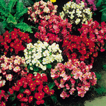 Glossy foliage of green and bronze and large flowers in shades of pink, red and white. Flowers June-September. HHA/HHP Half hardy annual/half hardy pe