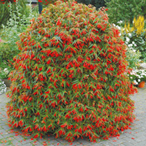 Begonia Plants - Crackling Fire Orange