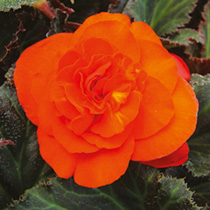 Begonia Plants - Non-Stop Mocca Bright Orange