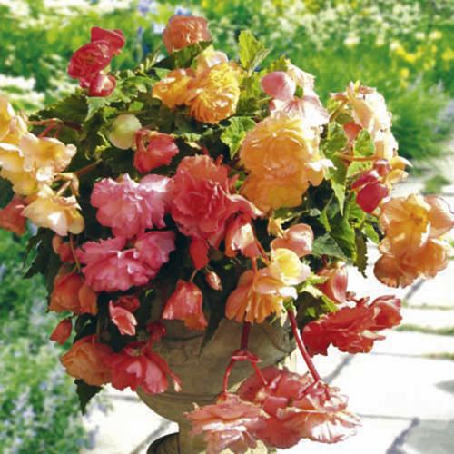 Begonia Parisienne Trailing Plants