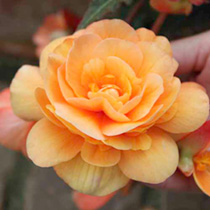 Begonia Plants Illumination Apricot Shades