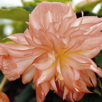 Begonia Plants - Belleconia Soft Orange