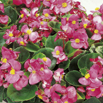 Begonia Plants - F1 Ambassador Single Colours
