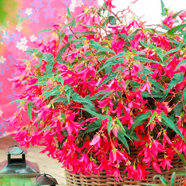 Begonia Plant - Crackling Fire Pink