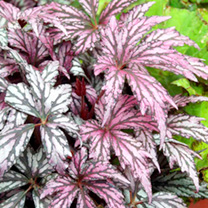 Begonia Plant - Metallic Rose Red