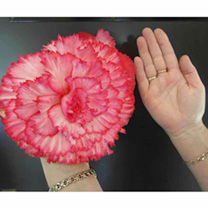 Compact, upright plants with strong stems and huge frilled blooms over a long period. the largest begonia flowers the size of dinner plates! Flowers J