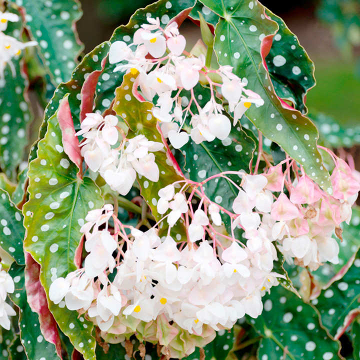 Begonia maculata wightii begonia plants flower plants flower begonia plant maculata wightii mightylinksfo Gallery
