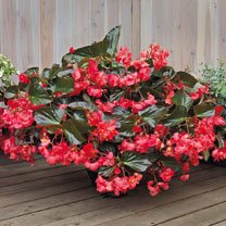 Begonia Plant - Big Deluxxe Rose