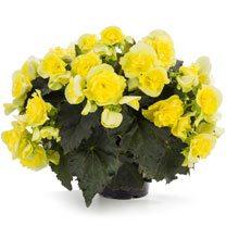 Begonia Plant - Solenia Yellow