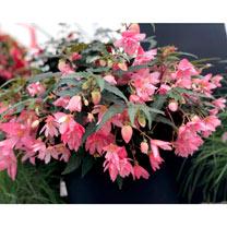 Begonia Hanging Basket Plants - Funky