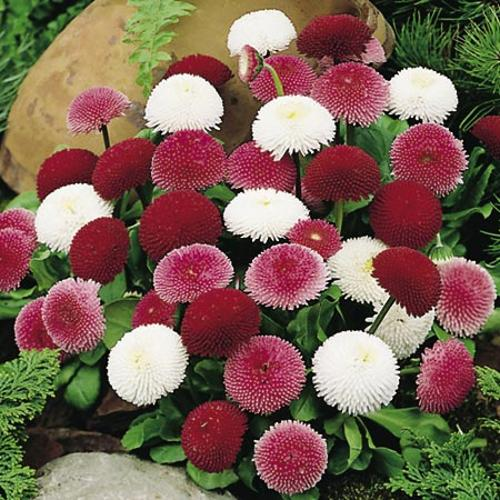 Daisy Pincushion Mix Seeds
