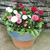 Bellis Plant - Spring Star Mix