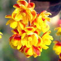 Berberis thunbergii Plants - Atropurpurea