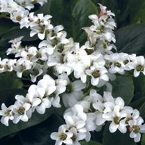 Bergenia Plants - Brerssingham White