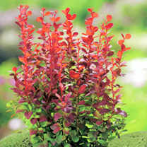 Berberis thunbergii Plant - Orange Rocket