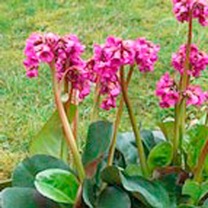Bergenia Plant - Overture