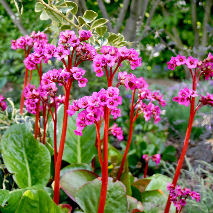 Bergenia Plant - Autumn Magic