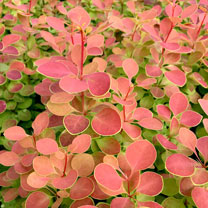 Berberis Plant - Orange Sunrise
