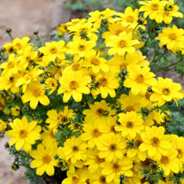 Bidens Plants - Yellow Crown