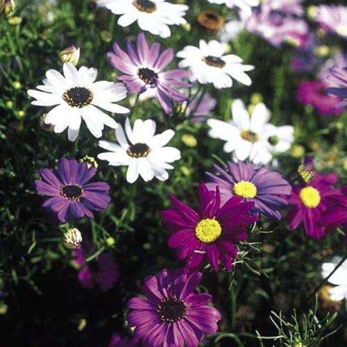 Swan River Daisy Seeds - Bravo Mix
