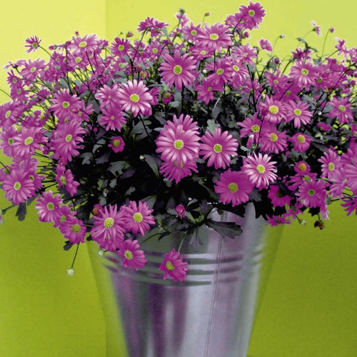 Brachyscome Plants - Surdaisy Strawberry Pink