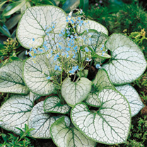 Easy-to-grow, fully hardy plants producing mats of attractive heart-shaped, silver-and-green variegated leaves topped, in spring, with a profusion of