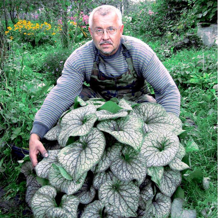 Brunnera Plant - Alexanders Great