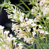 Buddleja Free Petite Plant - White