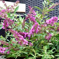 Buddleja Free Petite Plant - Dark Pink