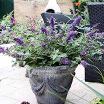 Buddleja Free Petite Plant - Blue Heaven