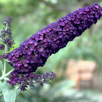 Buddleia Plant - davidii Black Night