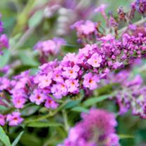 Buddleia Plant - Free Petite Dark Pink