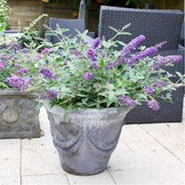 Buddleia Plant - Free Petite Blue Heaven