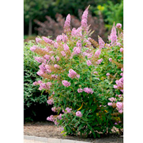 Buddleia Plant - Flutterby Pink