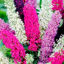 Buddleia Seeds - Butterfly Magnet Mix