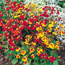 Bushy plants with yellow, orange, red and bi-coloured flowers. Height 25cm (10). HHA/HP Half hardy annual/Hardy perennial.