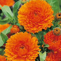 A splendid variety of calendula with enormous orange flowers, perfectly double and beautifully formed. This is the strain which is now grown for cut-f